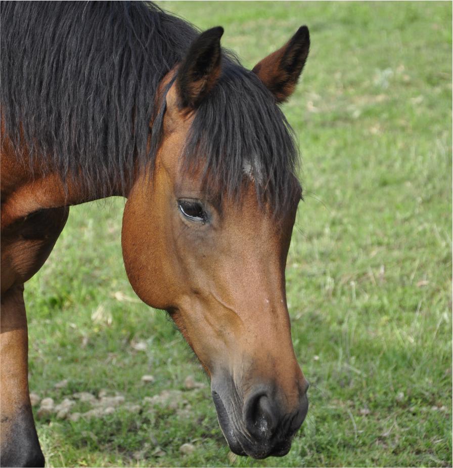 Spirit - Pony